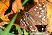 DSC_7414Speckled