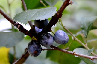 Sloes - not so common this year.