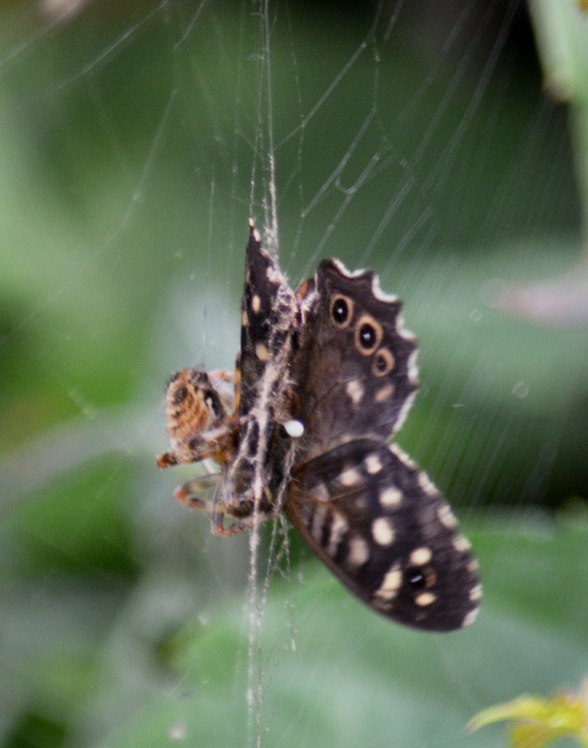 Speckled wood in a spider's web