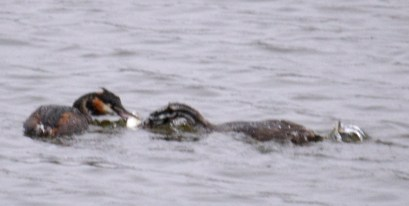 Grebes with fish