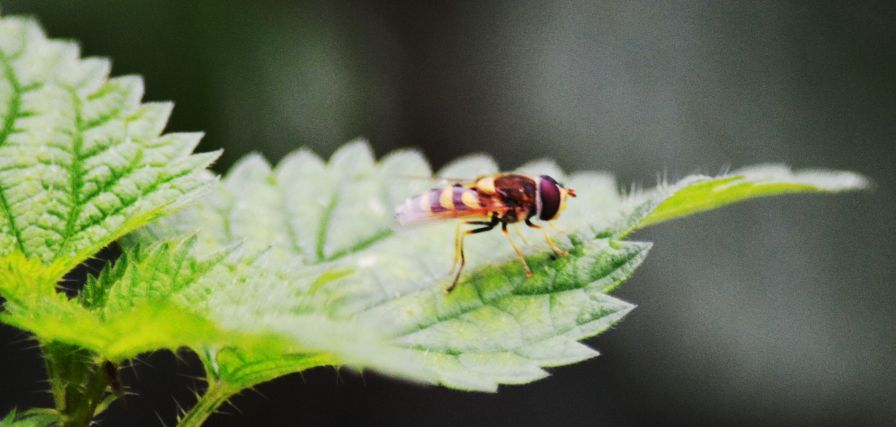 Hoverfly not hoverin' on a bramble leaf