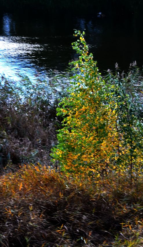 Birch tree slowly turning   from green to gold