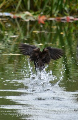A moorhen on the canal