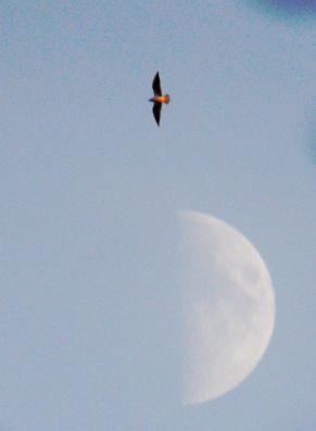 Moon with kestrel.