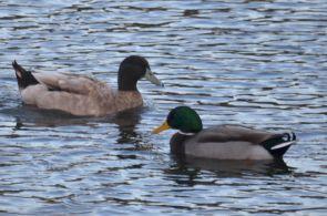 Big duck and mallard