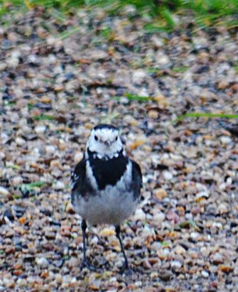 Staring match with a pied wagtail