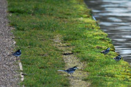 Wagtails on towpath