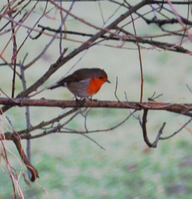 Robin at daybreak