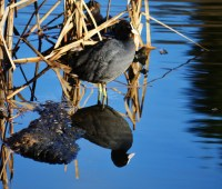 Coot, reflected