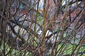 """White cat """"hiding"""" in willow"""