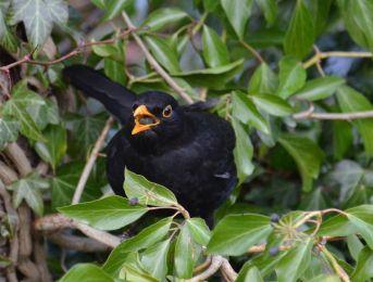Stroppy looking blackbird