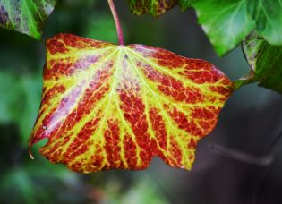 Colourful ivy leaf