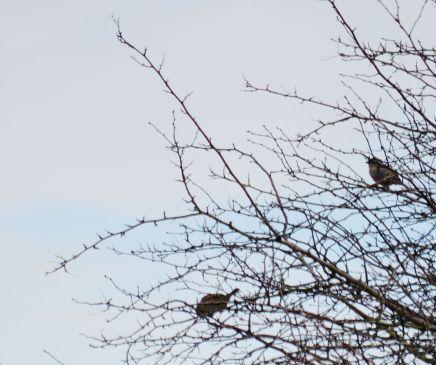 Birds - sparrows?