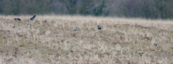 Crows and lapwings
