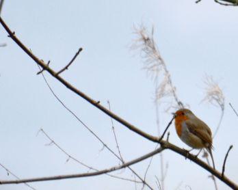 More robin