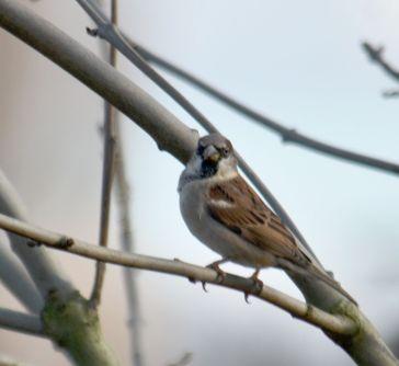 Sparrow in a sparrow tree