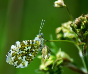 Orange tip underside