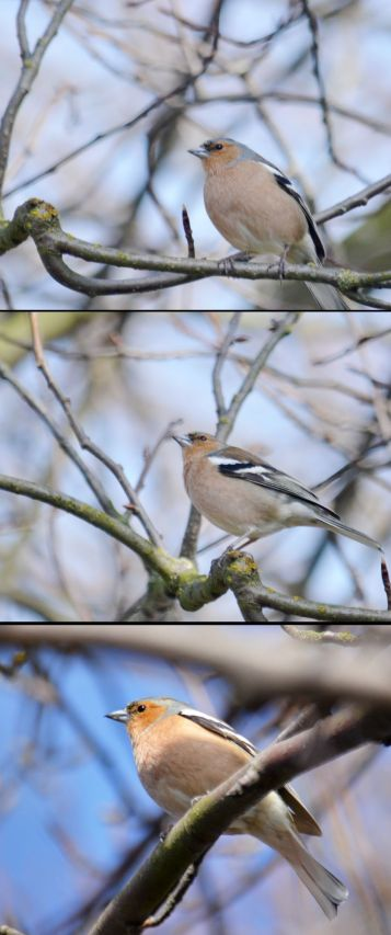 Chaffinch (composite)