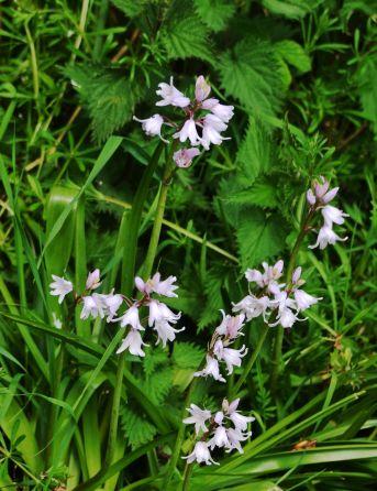 Light purplebells
