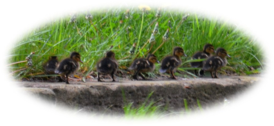 Ducklets