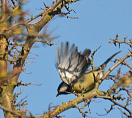 Great tit dtbo