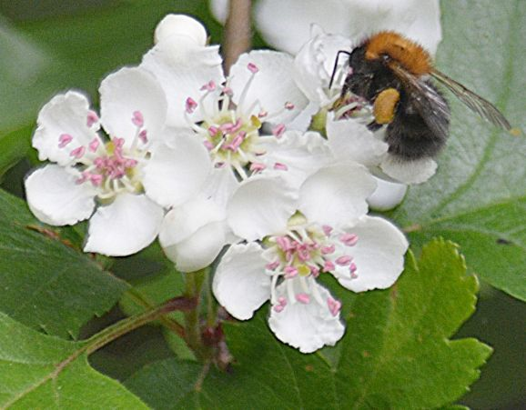 Bee stealing nectar from a hawthorn