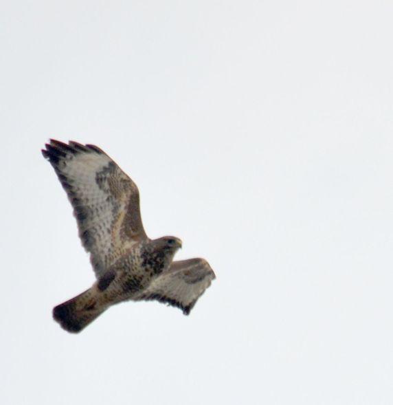Buzzard over Shireoaks tip