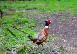 Cock pheasant on Shireoaks Tip