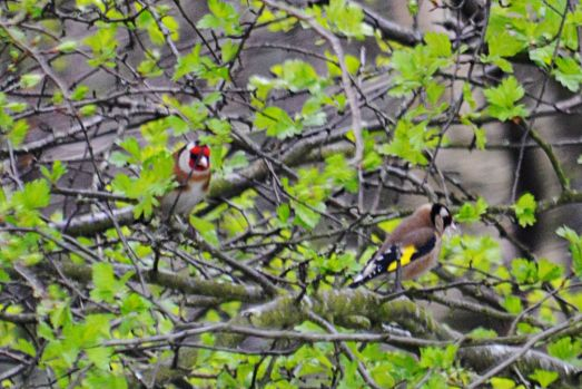 Goldfinches in thorn