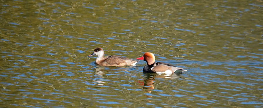 Red crested pochard pair - quite rare, I'm told.