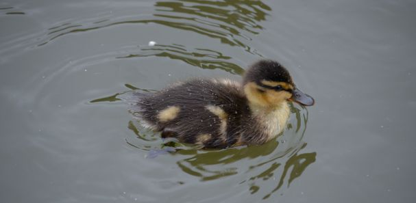 Bloody duckling!