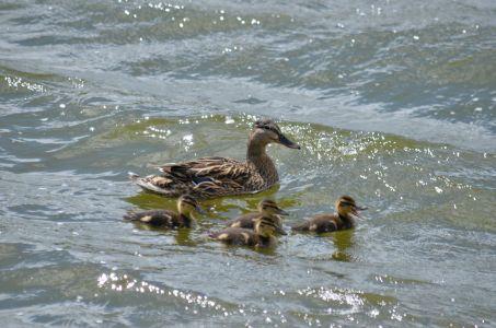 Wind blown waves with mallard family