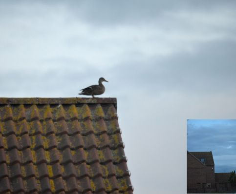 Duck on roof