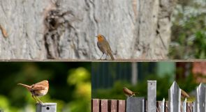 Robin (composite)Pond