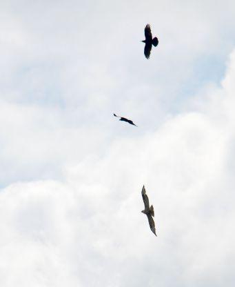 Crows mobbing a buzzard