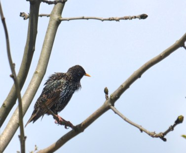 Fluffed up starling