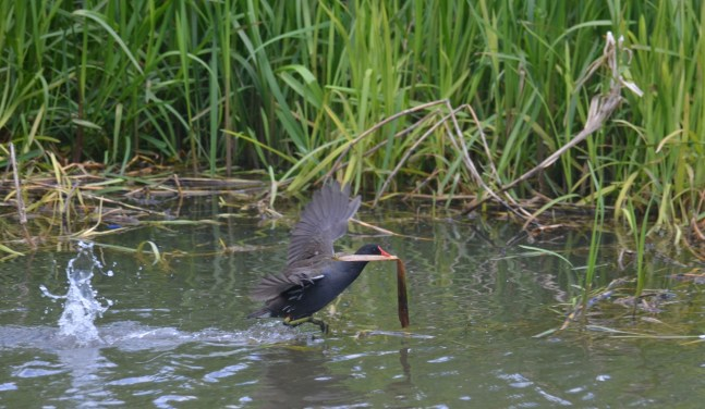 Moorhen carrying stuff to the nest