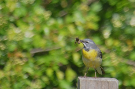 Gray wagtail with lunch