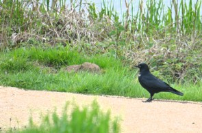 """Crow on the new """"footpath"""""""