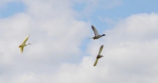 Mallards aloft