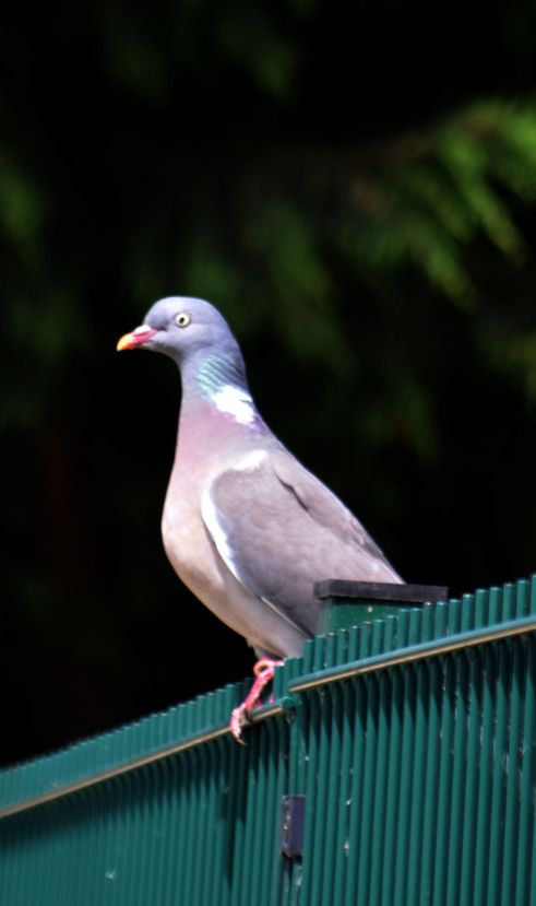 Pigeon on the school fence