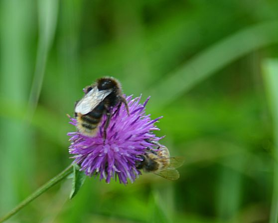Bee interfering with knapweed