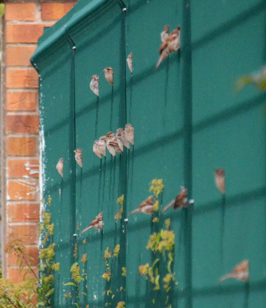 more sparrows on the fence
