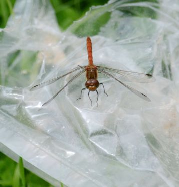 Dragonfly on litter
