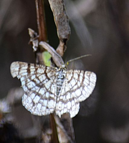 Moth - not a good pic