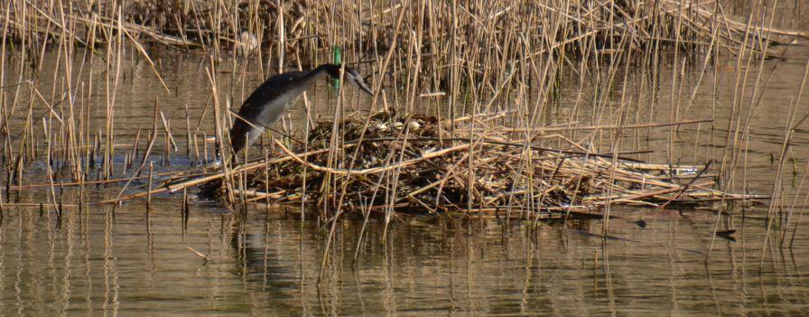 Grebe onto the nest