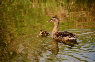 Mallard and chick