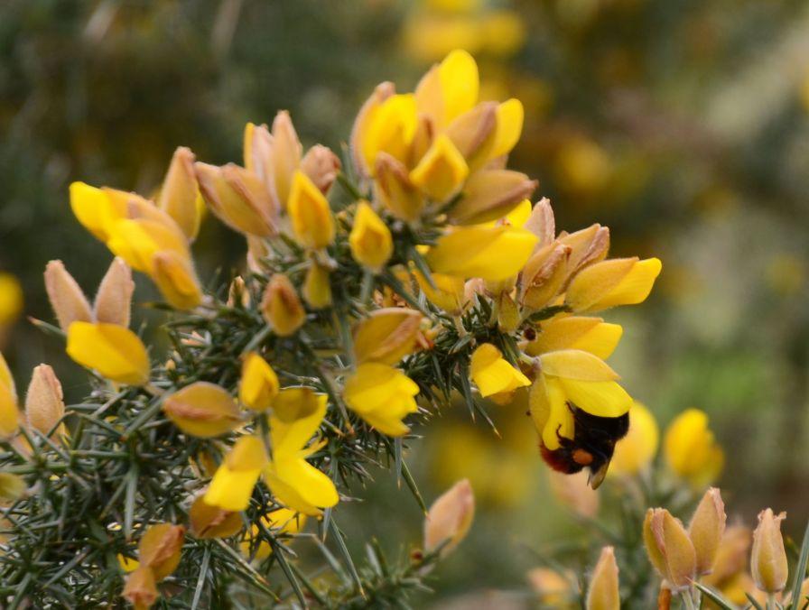 Bee on gorse