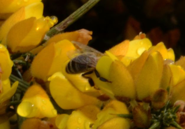 Bee head first in a gorse flower