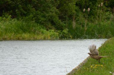 Hen pheasant DTBO
